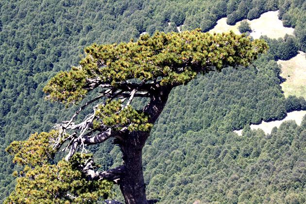Pino loricato con faggeta sullo sfondo (Serra del Prete, Parco Nazionale del Pollino, PZ). Foto: A.R. Rivelli