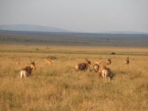 夕日に照らされながら草を食む草食動物たち。肉食系と違って種類が判別しづらい? 顔や足の付け根が黒っぽいのがトピ(topi)、長く曲線を描いた角を持つのがインパラ(impala)。シカに見えるがウシ科の動物たちだ。