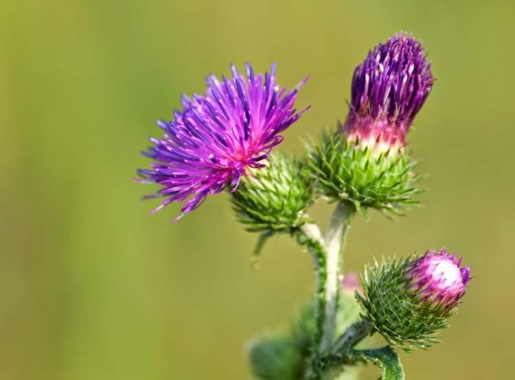 Bardana é uma das Espécies de Flores para atrair Borboletas ao seu Jardim
