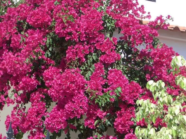 Buganvília é uma das Espécies de Flores para atrair Borboletas ao seu Jardim