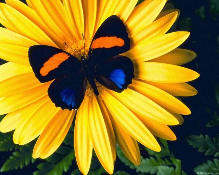 Girassol é uma das Espécies de Flores para atrair Borboletas ao seu Jardim