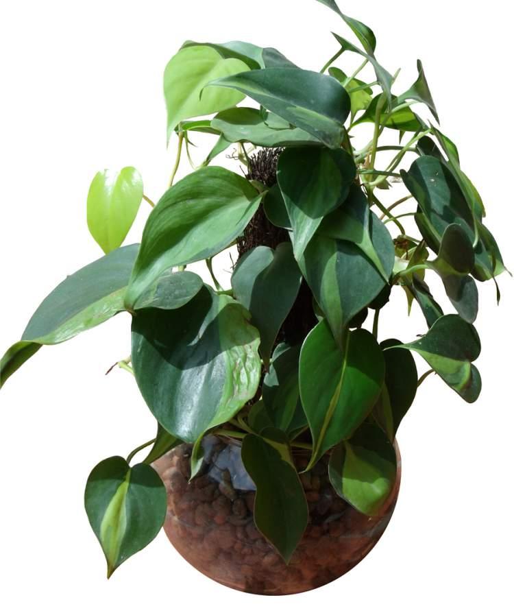 Filodendro é uma das Plantas para Colocar Dentro de Casa e que Não Precisam de Muita Água