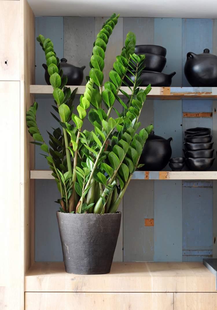 Zamioculcas são Plantas para Colocar Dentro de Casa e que Não Precisam de Muita Água