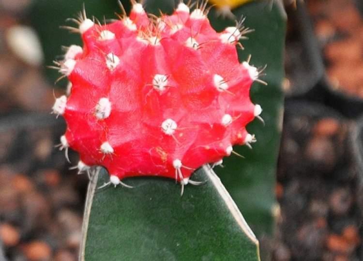 Cacto do Deserto é uma das plantas perfeitas para decorar o interior da sua casa