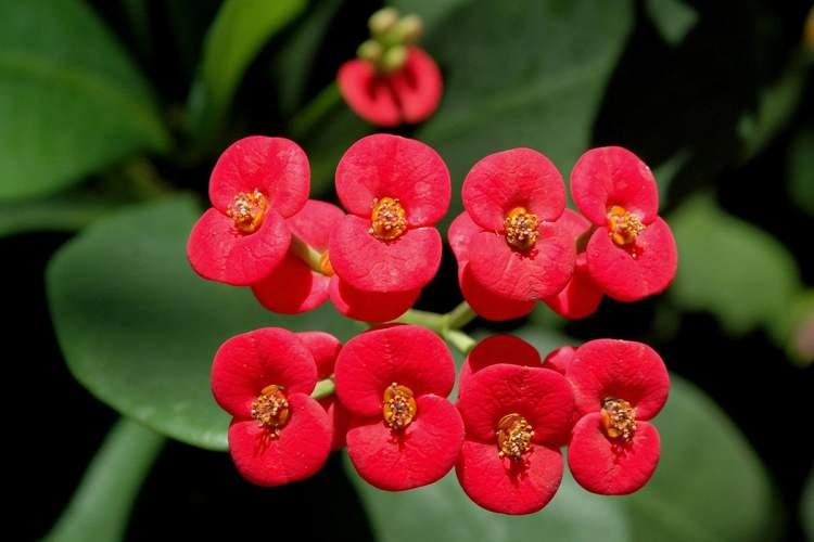 Coroa-de-Cristo é uma das plantas perfeitas para decorar o interior da sua casa