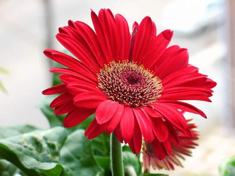 Gérbera é uma das plantas perfeitas para decorar o interior da sua casa