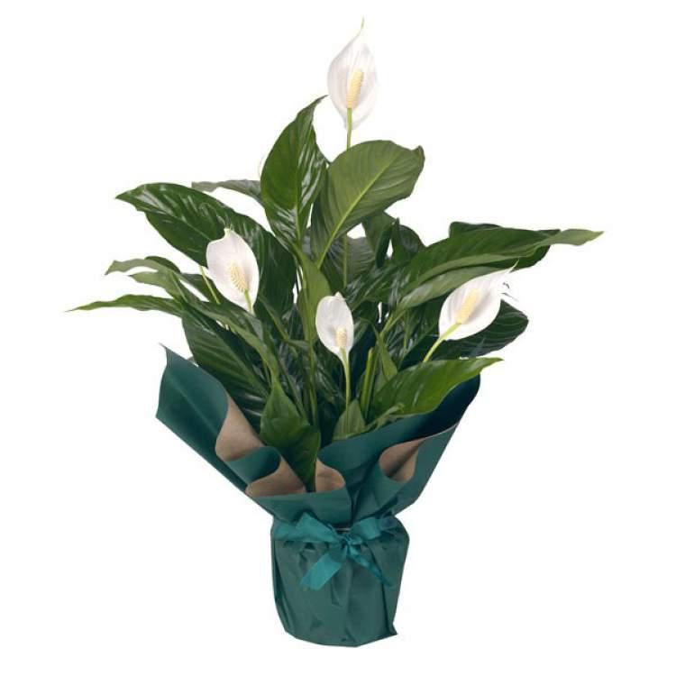 Lírio-da-Paz é uma das plantas perfeitas para decorar o interior da sua casa