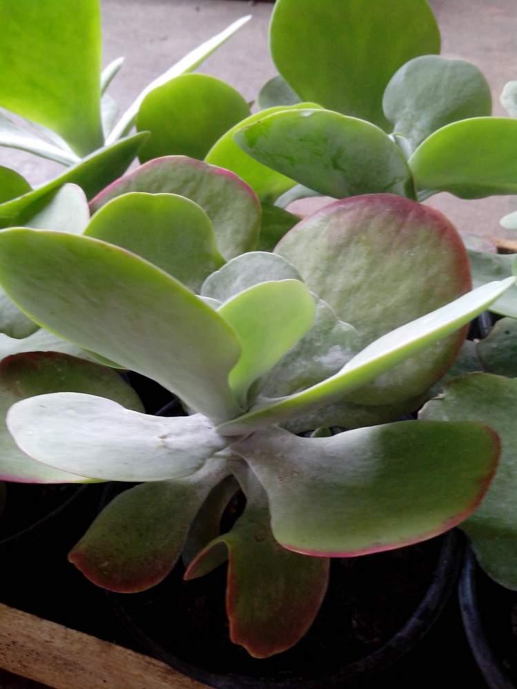 Orelha-de-Elefante é uma das plantas perfeitas para decorar o interior da sua casa