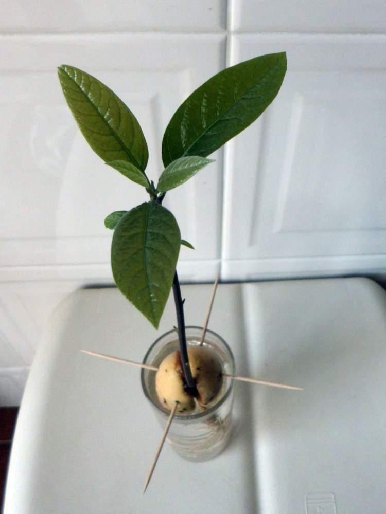 Abacate é uma das plantas perfeitas para decorar o interior da sua casa
