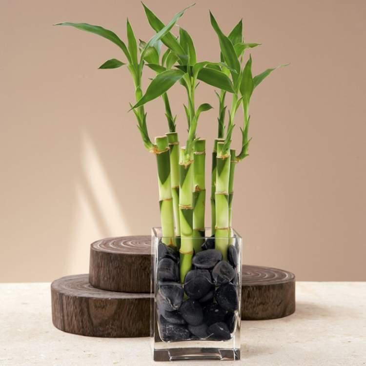 Bambu da Sorte é uma das plantas para decorar o apartamento com muita elegância e bom gosto