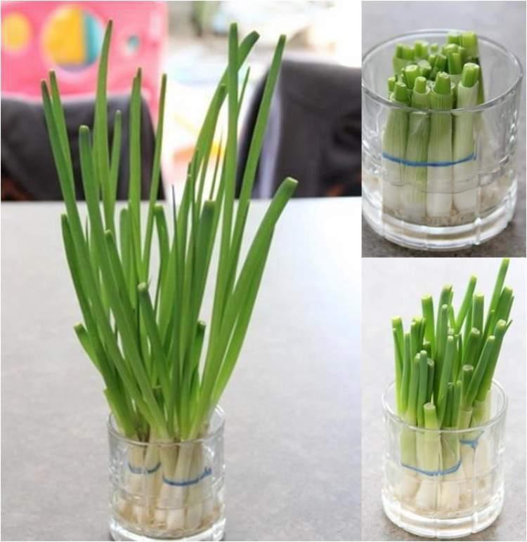 Cebolinha pode ser cultivado em um copo com água