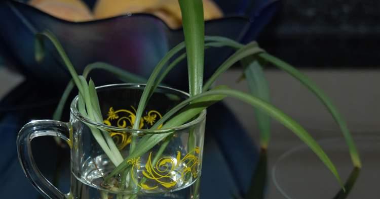 clorofito é uma das plantas decorativas que você pode cultivar em um copo com água