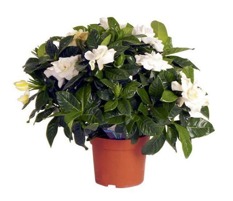 Gardênia é uma das plantas que podem ser cultivadas no escritório para reduzir o estresse