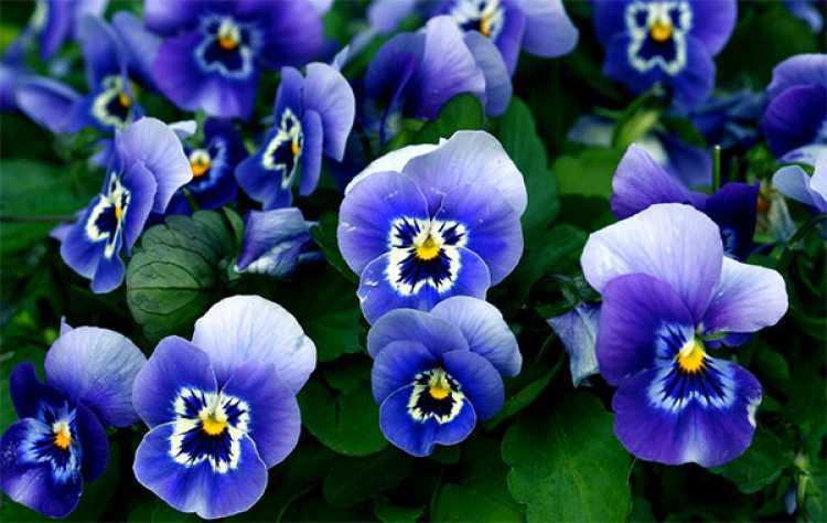 Amores-perfeitos é uma das plantas que suportam o clima frio