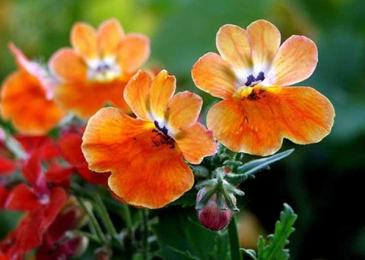 Nemésia é uma das plantas que suportam o clima frio