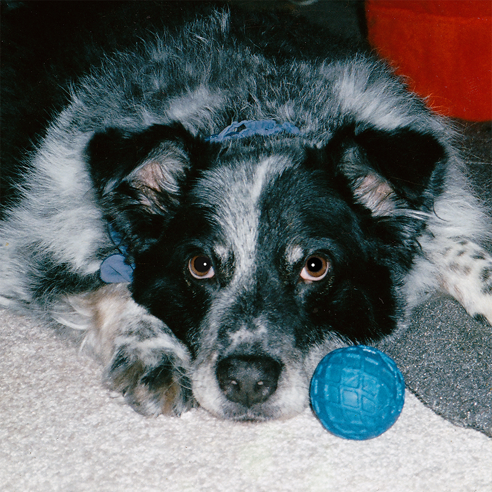 Levi, Anton's Australian Shepherd dog, and the ''founder'' of his online business.