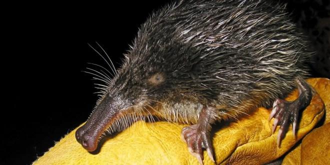 Conoce al animal más raro de Europa - Fotos y Video