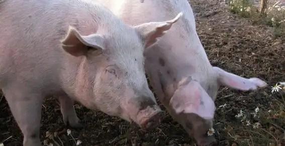 Granjero muere comido por sus cerdos