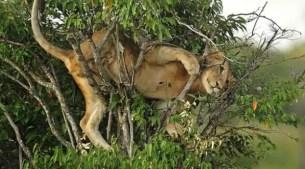 Fotos: León queda atrapado sobre un árbol
