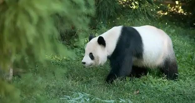 Nuestros ancestros comían carne de panda