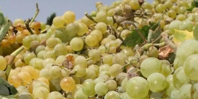 En plena crisis Europa padece su peor cosecha vinícola