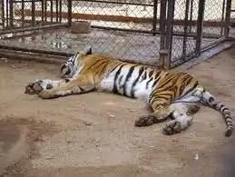 Tigre intenta comerse a una niña