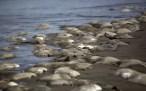 Fotos: Aparecen 300 mantarrayas muertas en playa de Veracruz