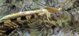 Un pez que pasa buena parte de su vida fuera del agua