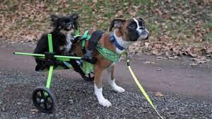 VIDEO: Un perro de dos patas y sus progresos a grandes pasos