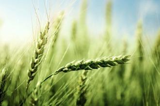 Se duplicaron las exportaciones de trigo en el primer semestre del año