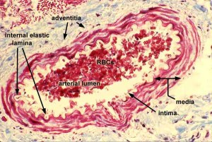 Pathology Outlines  Normal vessels