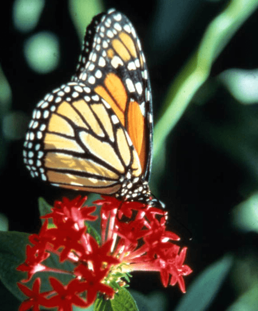 Butterfly (Source: Florida Memory/Flickr)