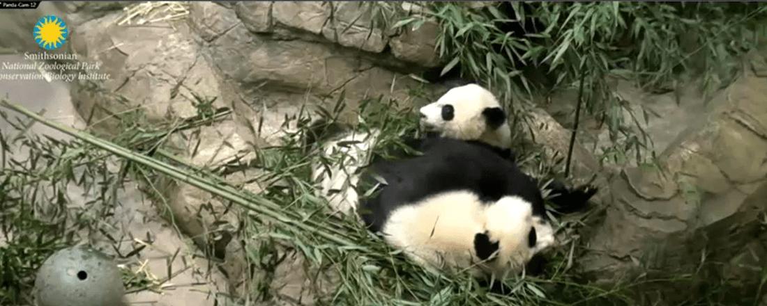 Panda Cam (Source: BaR21RmZ/Twitter)
