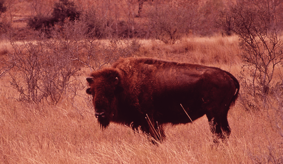 Buffalo (Source: U.S. National Archives/Flickr)