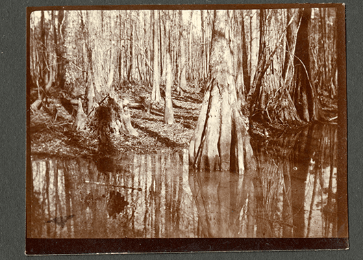 Cypress Swamp in South Carolina, 1898 (Source: Smithsonian Institution/Flickr)