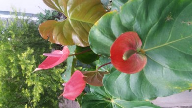 anthuriums-grow-lush-in-compost