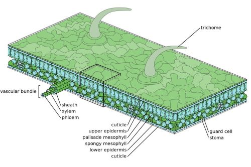 small resolution of figure 4 39 leaf structure
