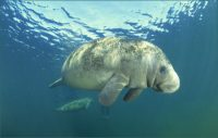 Environmental Division - West Indian Manatee