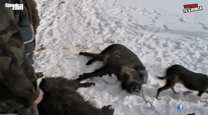 Divlja svinja - lovci na pesterskoj visoravni - Sjenica 2002