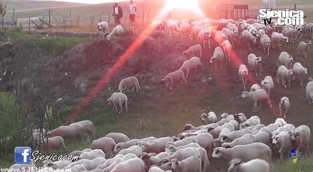 Karajukica Bunari, stado ovaca, pesterska visoravan / Sjenica Jul 2015.
