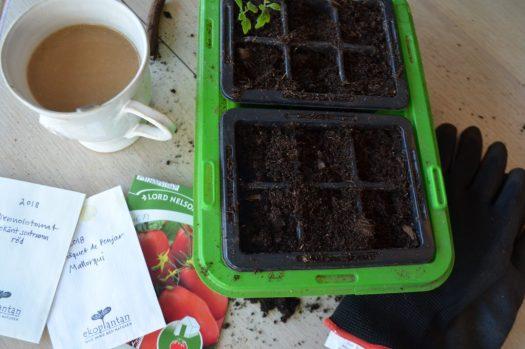 Rädda rangliga tomatplantor