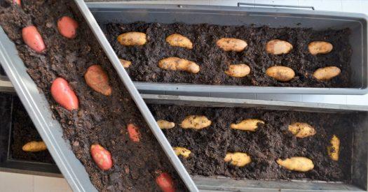 Potatis förodlas i jord i blomsterlådor