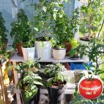 Tomatplantor i växthus