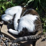 Katten Fina rullar sig i Kattmynta