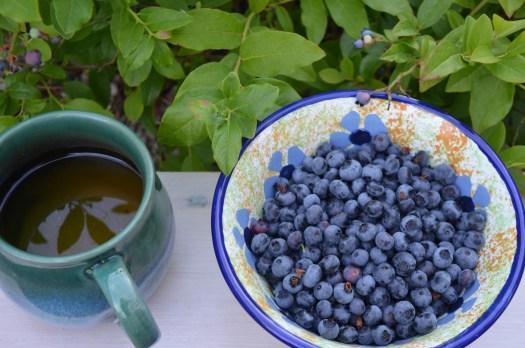 odla blåbär