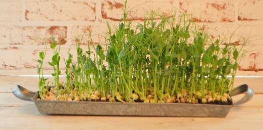 odla ärtskott som proffsen