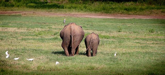 kleine Elefant trottet neben großen Elefant