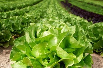 Salatkopf im Gewächshaus