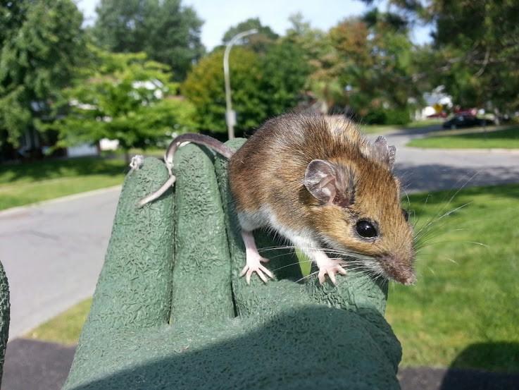 Common Ontario mouse species