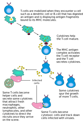 T-cell activation.